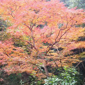 箕面の滝に紅葉狩りに行きました。